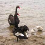 cisne negro, cisne, gripe aviar,